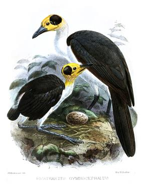 Two white-necked rockfowl, one adult and one juvenile with a shorter tail, are standing on a rock surrounding a medium-sized speckled egg in a tropical forest.