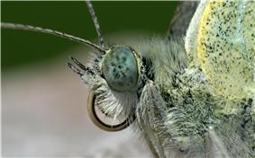 Closeup of butterfly head showing eyes, antenna, coiled proboscis and palpi.