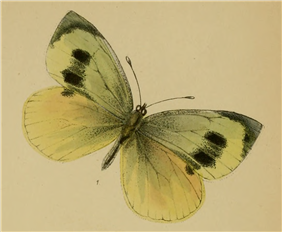 Madeiran Large White