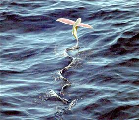 A flying fish soars above the water's surface.