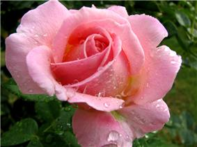 Pink Rose In The Rain (216504571).jpg