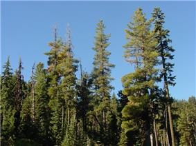 Several pines emerging from a solid treeline, with a clear blue sky in the background.