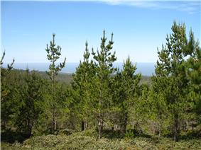 About half a dozen pine trees with upward-pointing branches 15 to 30 metres in height with green needles. The upper half of the background is blue sky.
