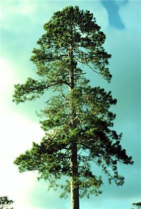 The Norway pine, Minnesota's state tree