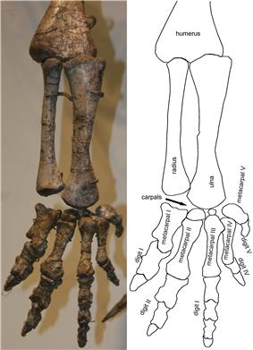 Photograph of the lower arm and hand, seen from the side. The arm is hanging straight down, the fingers are slightly spread, the palm is directed medially.