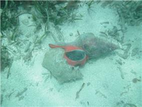 A sandy bottom. On it a large sea snail with a bright orange-red body and a large operculum is reaching far into the shell of a queen conch.