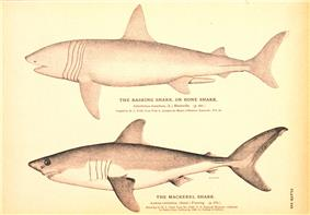 Monochromatic drawings of two sharks, one labeled