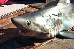 View of the front half of a shark with large black eyes and open mouth showing many rows of sharp teeth, lying on a pier