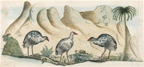 Original drawing of the extinct white gallinule by Arthur Bowes Smyth, surgeon aboard First Fleet ship Lady Penrhyn