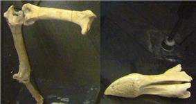 Fragmentary leg and skull bones of a dodo