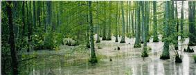 A cypress swamp in Holly Springs National Forest.
