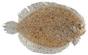 Indonesian ocellated flounder