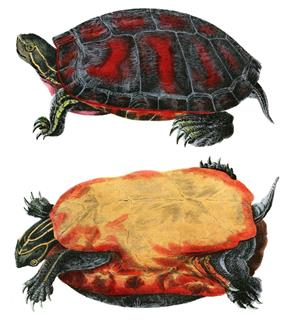 Northern red-bellied cooter(Pseudemys rubriventris)