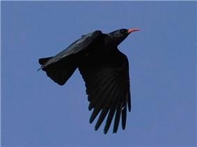 alt = Flying red-billed chough silhouetted against the sky