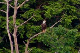 Photo of a large dead tree with a white-headed eagle on one branch, and lush green foliage in the background.