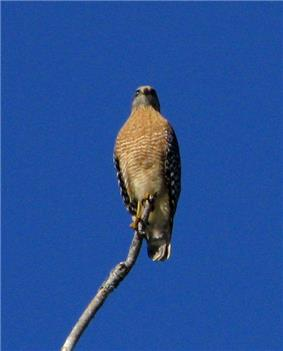 A red and tawny colored bird of prey sitting on a solitary stick