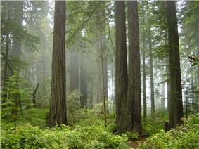 Coast Redwood forest in Redwood National Park
