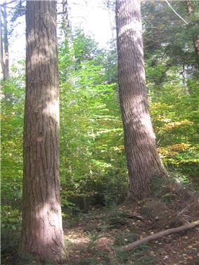Photo of the sun-dappled trunks of two large old trees with green saplings in the background