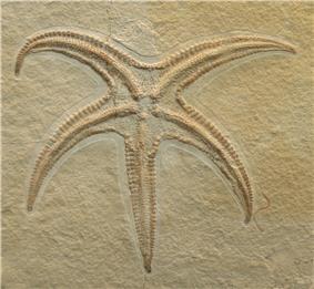 Starfish fossil