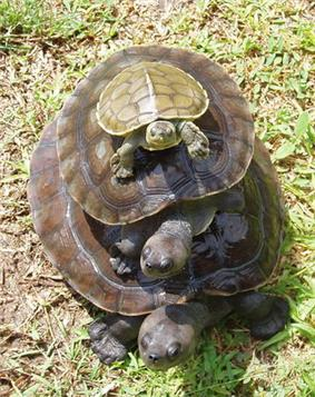Three turtles of varying sizes stacked on top of each other with the largest at the bottom