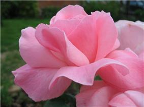 Rosa Queen Elizabeth1ZIXIETTE.jpg