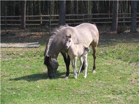 Konik horses in the Roztoczański National Park