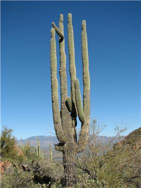 picture of a giant, many limbed saguaro cactus outlined against a blue sky