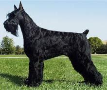 A standing black dog with dense, wavy fur, a distinct 'beard' and eyebrows, a docked tail, and cropped ears, facing to the left.