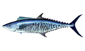 Narrow-barred Spanish mackerel