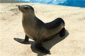 Sea-lion-Houston-Zoo.jpg