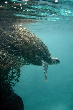 Sea turtle entangled in a ghost net.jpg