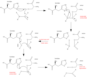 serine protease reaction mechanism