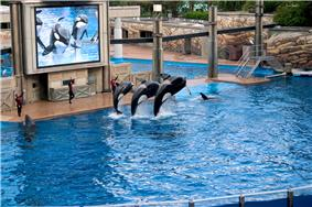 Three dolphins jumping at a trainer's command in an artificial pool, while being shown on a big screen television.