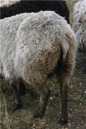 This Shetland sheep's tail hangs down.