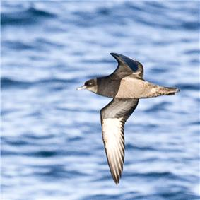 Short-tailed shearwater in flight