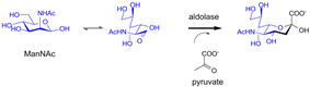 Biosynthesis of sialic acid by a bacterial aldolase enzyme.