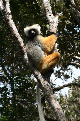 Sifaka perched in the