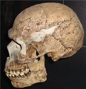 Skull exhibiting a mix of archaic and modern traits.