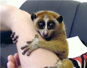 A pet slow loris clings to its owner's forearm