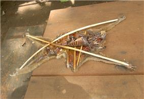 The carcass of a slow loris is cut open and staked out with bamboo pieces