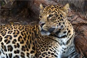 Spotted leopard.jpg
