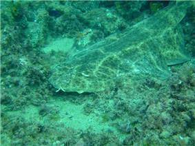 photo of an angelshark resting on the sea floor