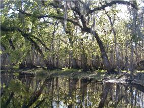 The river is smooth as glass and lined by oak and other mixed forest trees, drooping over and reflected in the water; its width is approximately a dozen yards (11m).