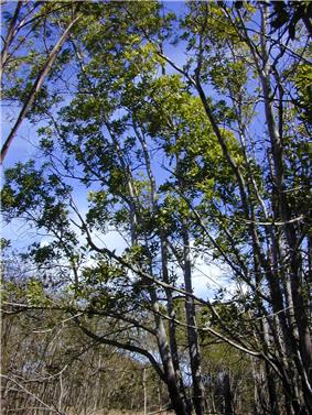 green foliage, dark grey thin trunks and branches of a clump of small trees, photographed against a blue sky