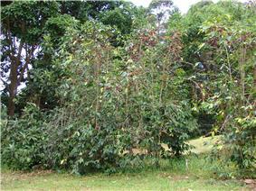 Starr 070617-7322 Coffea arabica.jpg