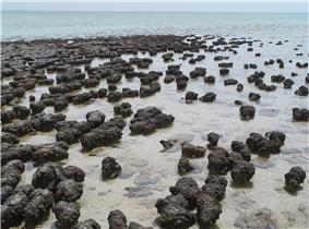 Scattered small black mounds growing in an area of shallows by the sea