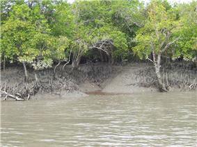 Sundarban mangrove forests