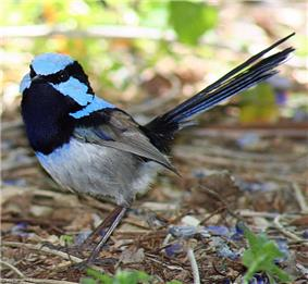 a small long-tailed vivid pale blue and black bird standing on the ground facing the camera, with its cheek feathers puffed out