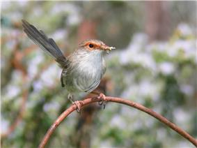 a small brown bird with orange eye-ring and a long tail holding a grasshopper in its bill while sitting on a piece of wire