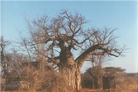A baobab tree in Gonarezhou national park, which is found in the district.